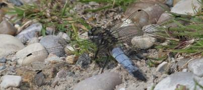 Broad Bodied Chaser Dragonfly at Minsmere