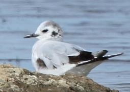Immature Little Gull at Minsmere