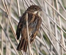 Immature Reed Bunting at Minsmere