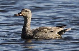 Male Gadwall at Minsmere