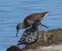 Spotted Redshank at Minsmere