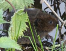 Water Vole at Minsmere