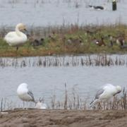Caspian Gull Minsmere - The pale thing on the left, no not the Bewicks Swan!