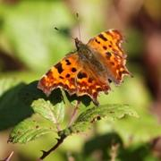 Comma Butterfly feeding on the blackberries at Minsmere
