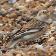 Female Snow Bunting Minsmere