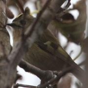 Secretive Goldcrest Minsmere - Jeez these little beggars are sneaky!