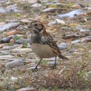 Male Lapland Bunting Minsmere