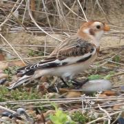 Male Snow Bunting Minsmere