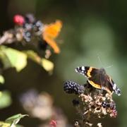 Red Admiral Butterfly feeding on the blackberries at Minsmere